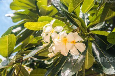 Close up of white frangipani or plumeria flowers
