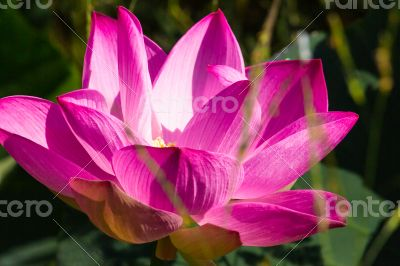 Pink lotus bloom in the morning.
