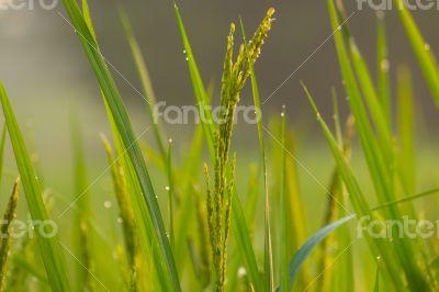 Rice with fog morning sunshine.