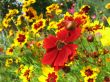 Red and yellow flowers of cosmos