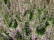 Bush  of blossom decorative  heather