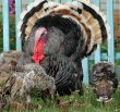 Turkey-cock in farm