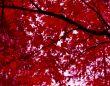 Crimson Canopy