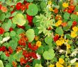 Lush flora of red and yellow nasturtiums