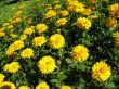 a rich field of sunshiny flowers