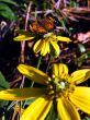 Pearl Crescent on Garden Flower