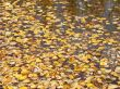 Autumn Leaves Floating on Water