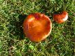 A shiny mushroom in the grass