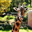 Baringo Giraffe 4765