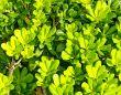 Bright Green Bush Background