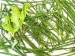 culinary plants