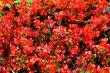 Begonia red
