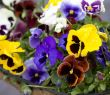 Blossoming flowers of Pansies