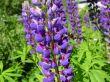 bumblebee on purple lupins