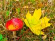 fly agaric with maple leaf
