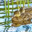 Forest pond and wild duckling